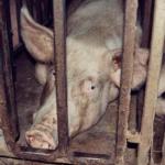 Свиноматка до смерти напугала пенсионера